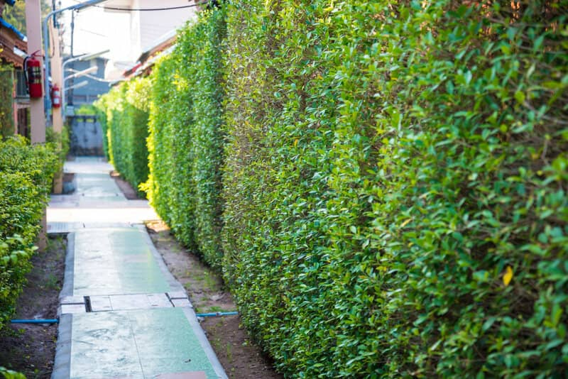 Best Evergreens for Privacy Screens and Hedges UK