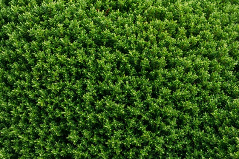 Can You Trim Hedges in Summer