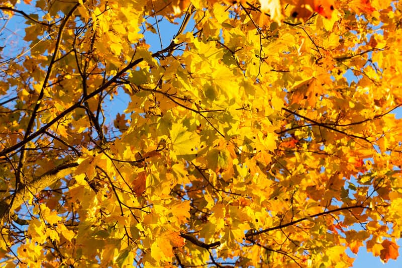 How to Grow a Hedge Maple in Your Garden